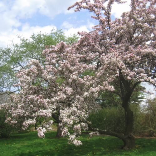 Malus hupehensis – Sierappel  Hoogte: 5 - 7 m  Kleur: Roze / wit  Wintergroen: Nee  Bloeiperiode: Mei