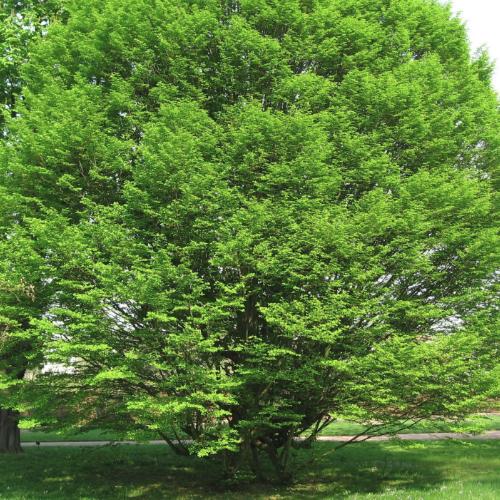 Carpinus betulus 'Fastigiata' – Haagbeuk  Hoogte:15 - 18 m  Kleur: Geel / groen  Wintergroen: Nee  Bloeiperiode: April