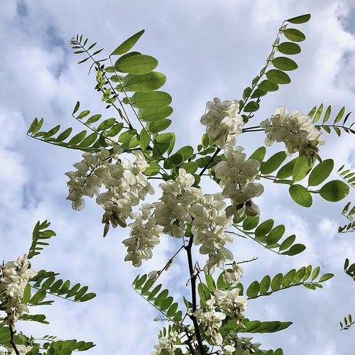 Robinia acacia - Accacia  Hoogte: 15 - 15 m  Kleur: Wit  Wintergroen: Nee  Bloeiperiode: Juni - Juli