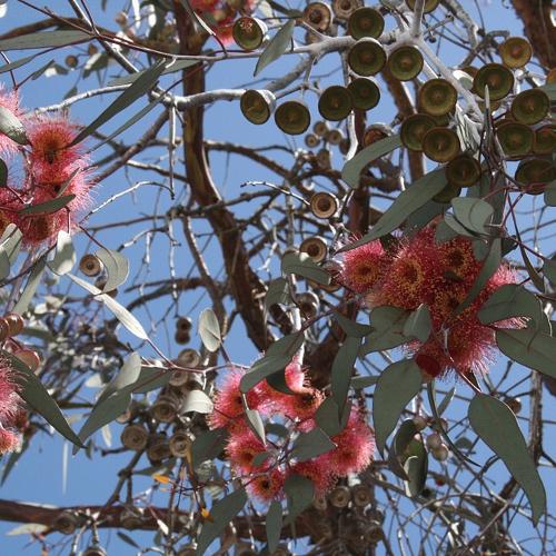 Eucalyptus - Eucalyptus  Hoogte: 5 - 10 m  Kleur: Wit  Wintergroen: Ja  Bloeiperiode: Mei - Juni