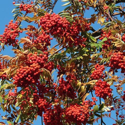 Sorbus - Lijsterbes  Hoogte: 10 - 15 m  Kleur: Wit  Wintergroen: Nee  Bloeiperiode: Mei - Juni