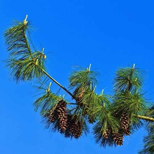 Pinus - Grove den  Hoogte: 10 - 30 m  Kleur: Niet van toepassing  Wintergroen: Ja  Bloeiperiode: Niet van toepassing