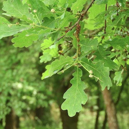 Quercus - Eik  Hoogte: 15 - 25 m  Kleur: Goud / geel  Wintergroen: Nee  Bloeiperiode: Mei