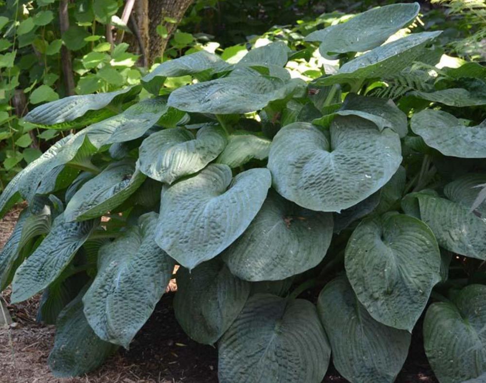 Hosta sieboldiana - Elegans  Hoogte: 60 - 70 cm  Kleur: Wit  Wintergroen: Nee  Bloeiperiode: Juni - Augustus