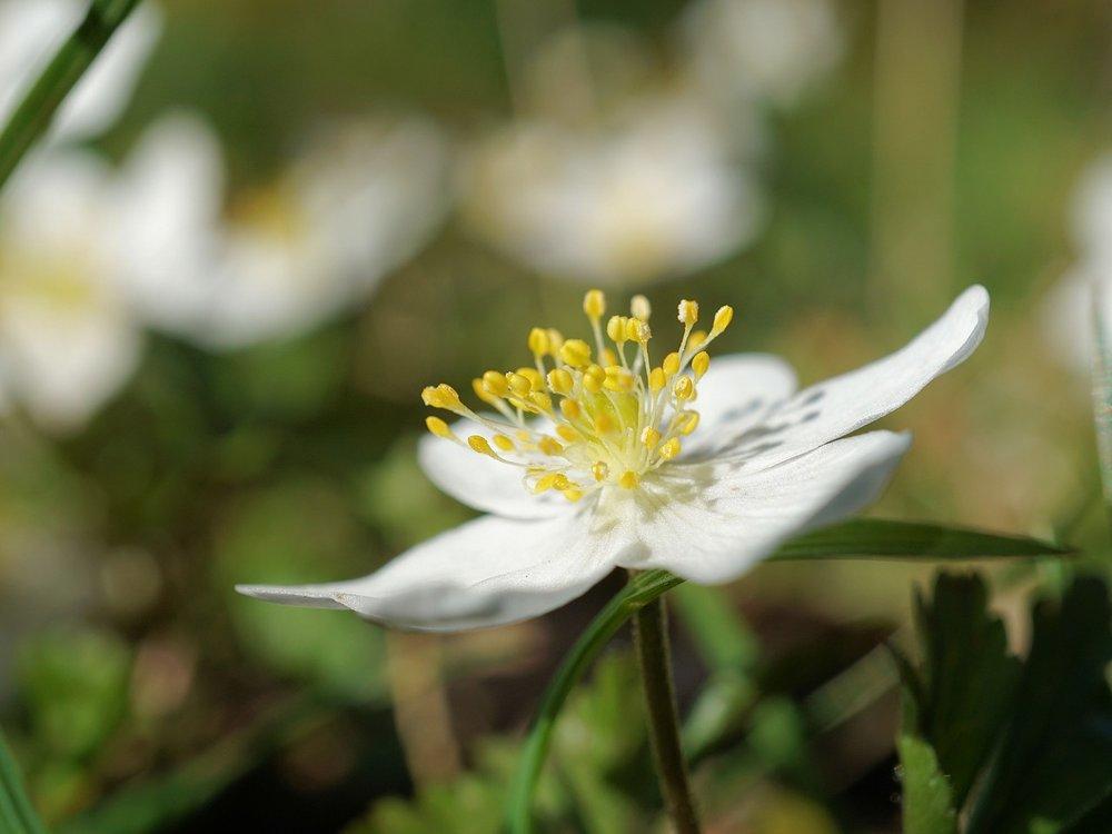 Anemone nemerosa - Bos-anemoon  Hoogte: 15 - 20 cm  Kleur: Wit  Wintergroen: Nee  Bloeiperiode: April - Mei