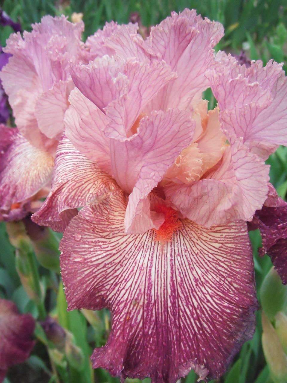Iris Germanica - Duitse iris  Hoogte: 40 - 70 cm  Kleur: Meerdere mogelijkheden  Wintergroen: Nee  Bloeiperiode: Mei - Juni