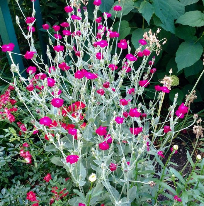Lychnis coronaria - Prikneus  Hoogte: 40 - 60 cm  Kleur: Roze  Wintergroen: Nee  Bloeiperiode: Juni - Augustus