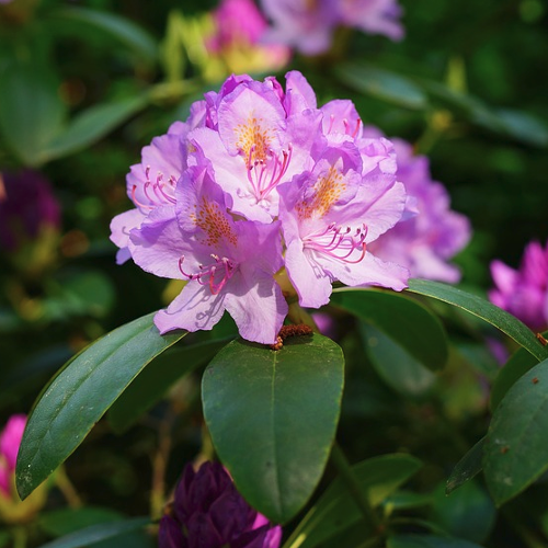 Rhododendron - Rhododendron  Hoogte: 100 - 300 cm  Kleur: Meerdere mogelijkheden  Wintergroen: Ja  Bloeiperiode: Verschillende