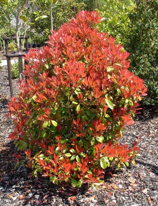 Photinia fraseri 'Red Robin' - Glansmispel  Hoogte: 150 - 200 cm  Kleur: Rood  Wintergroen: Ja  Bloeiperiode: Mei