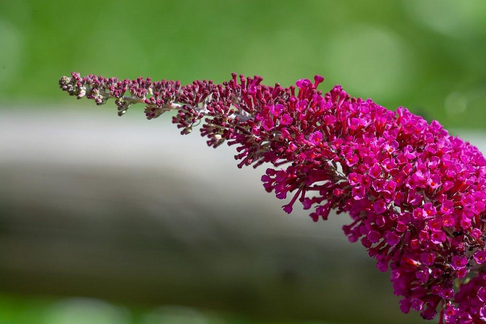 Budleija davidii - Vlinderstruik  Hoogte: 100 - 150 cm   Kleur: Roze / Paars  Wintergroen: Nee  Bloeiperiode: Mei / Juli
