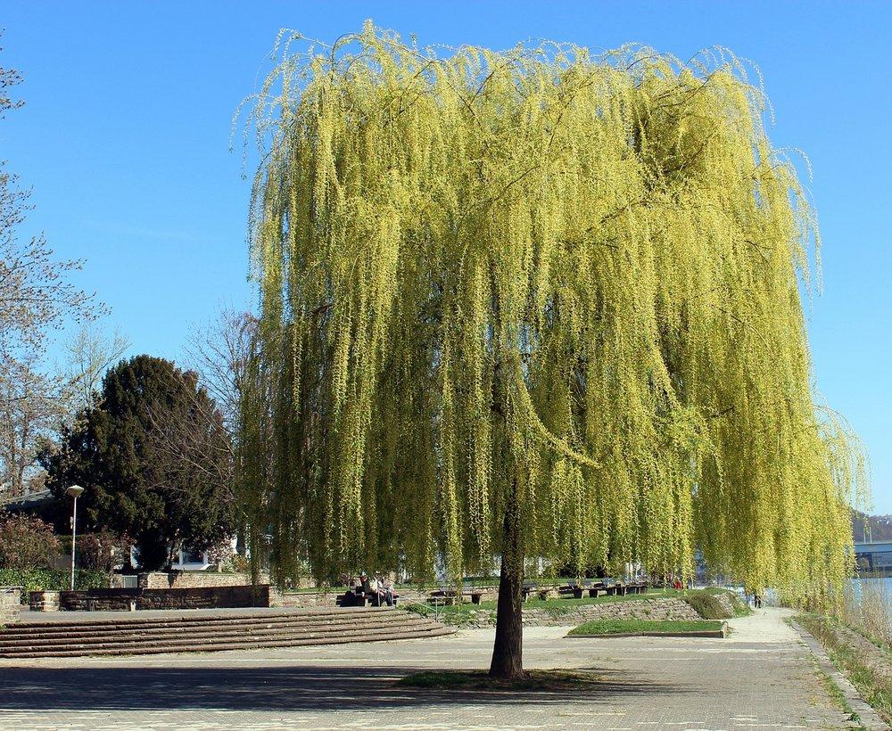 Salix sepulcralis 'chrysocoma' - Treurwilg  Hoogte: 2 -15 m  Kleur: Wit  Wintergroen: Nee  Bloeiperiode: April