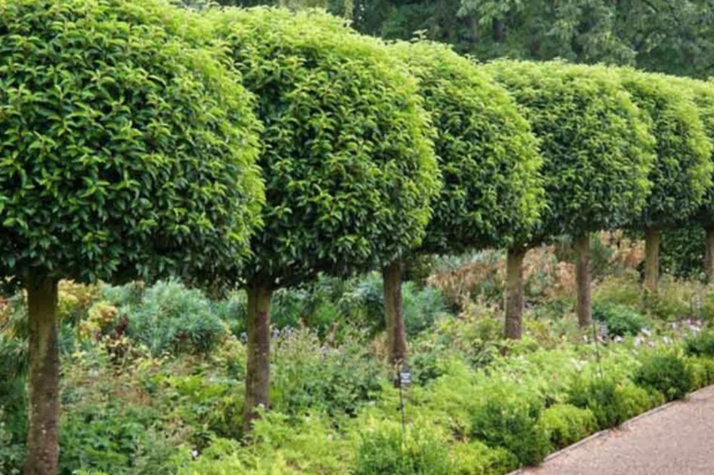 Prunus lucitanica - Portugese laurierkers  Hoogte: 5 - 15 m  Kleur: Wit  Wintergroen: Ja  Bloeiperiode: Juni