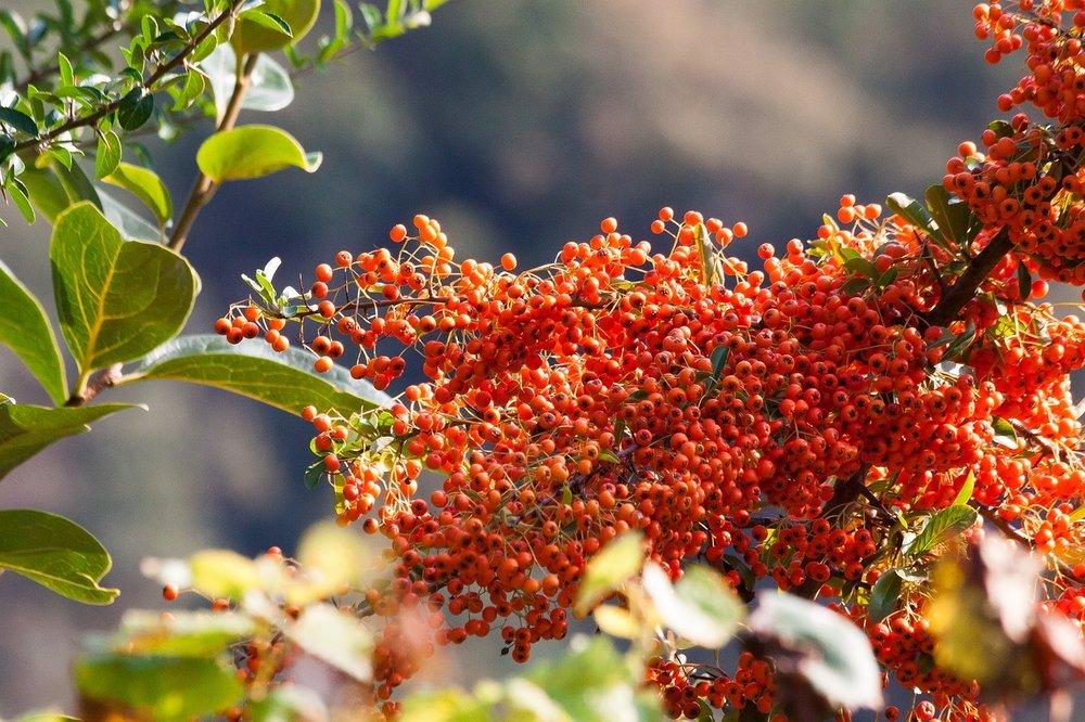Hippophae salicifolia 'Robert' - Duindoorn  Hoogte: 8 - 10 m  Kleur: Groen / Geel  Wintergroen: Nee  Bloeiperiode: April - Mei