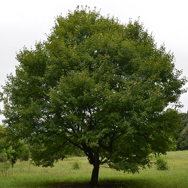 Acer campestre - Vederesdoorn  Hoogte: 5 - 7 m  Kleur: Niet van toepassing  Wintergroen: Nee  Bloeiperiode: Niet van toepassing