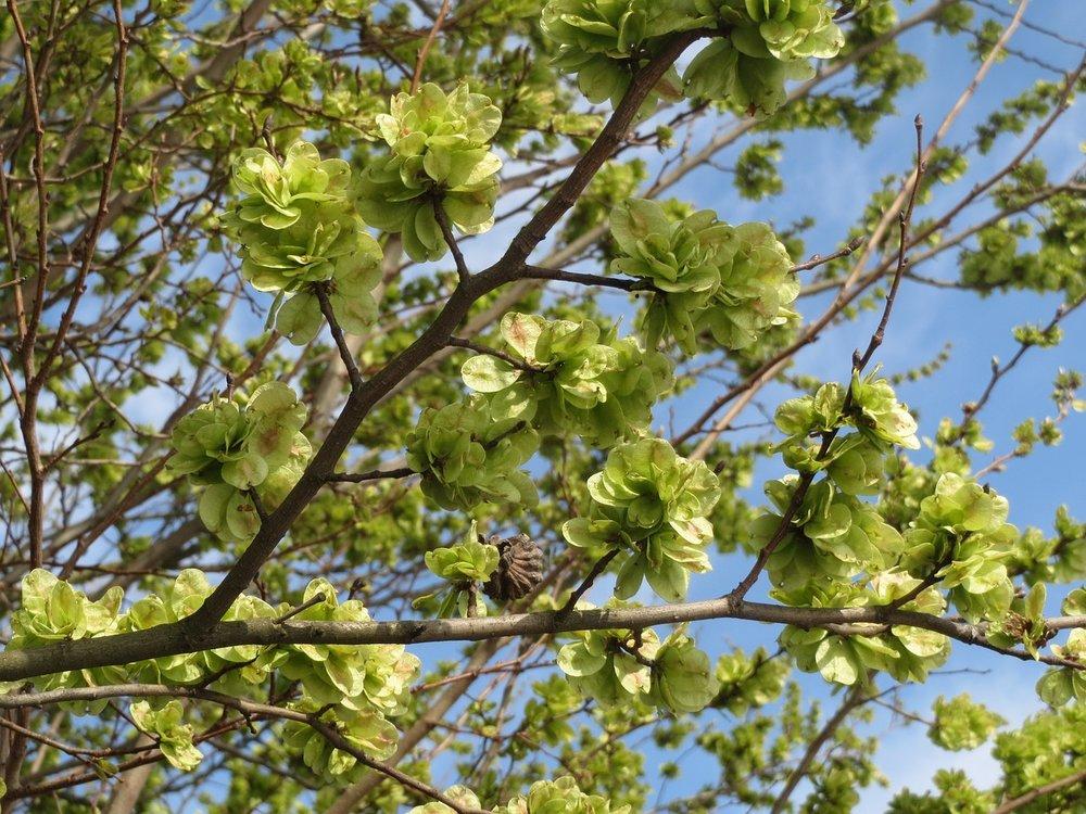Ulmus minor 'Cloud corky' - Iep  Hoogte: 15 - 20 m  Kleur: Rood  Wintergroen: Nee  Bloeiperiode: Maart