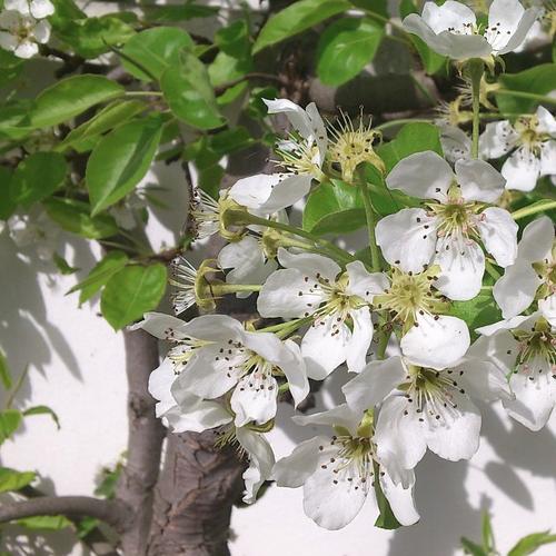 Amelanchier rotundifolia - Rotsmispel   Hoogte: 2 - 3 m  Kleur: Wit  Wintergroen: Nee  Bloeiperiode: April