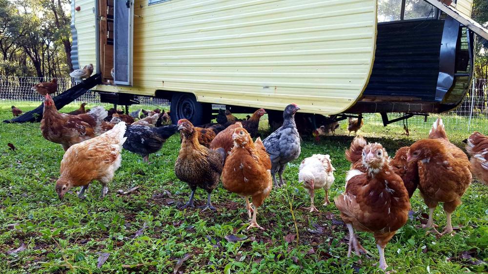chickens caravan.png