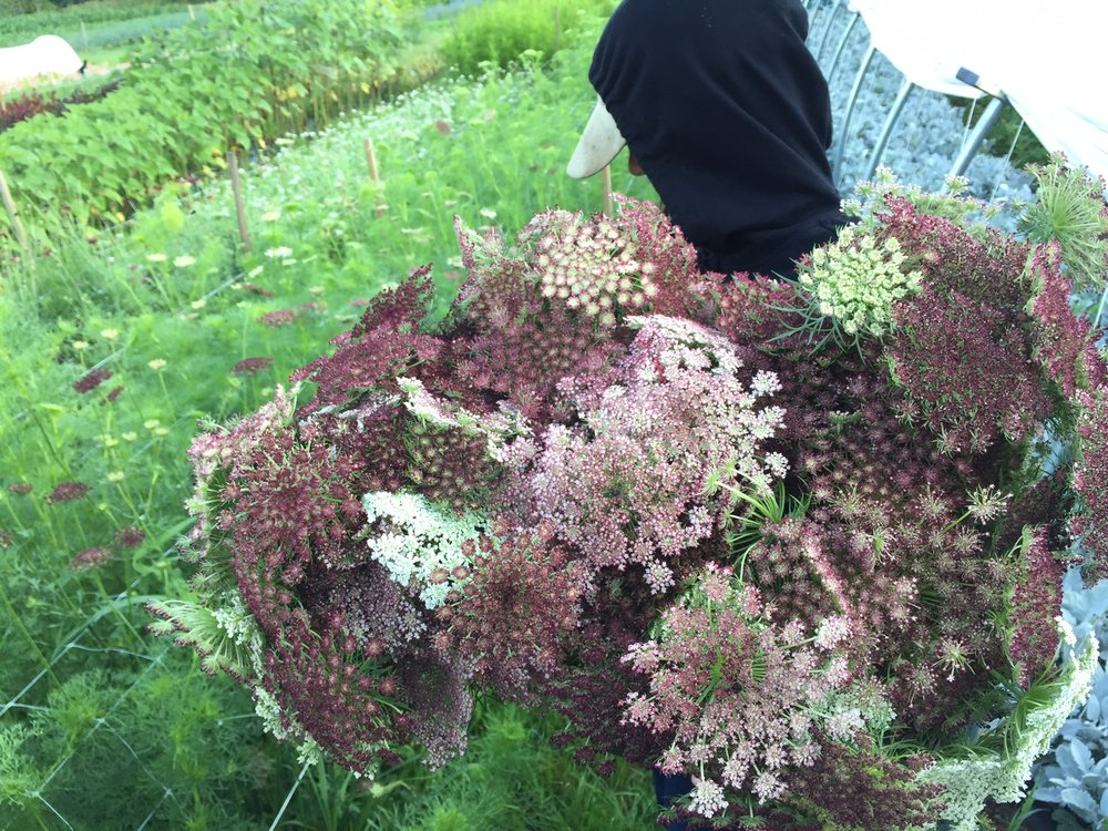 chocolate lace flower.JPG