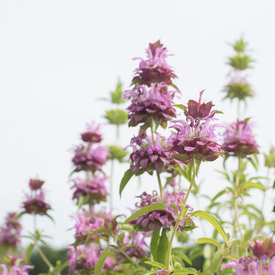 lemon mint bee balm.jpg