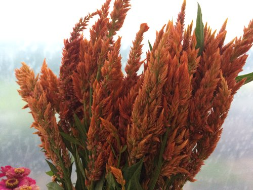 Flowers we grow understory farm celosia feathery plumed variety of colors mightylinksfo