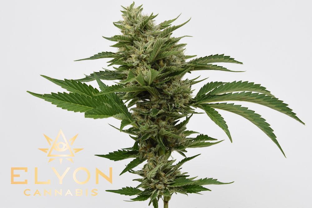 Elyon Cannabis Silver Sundaze