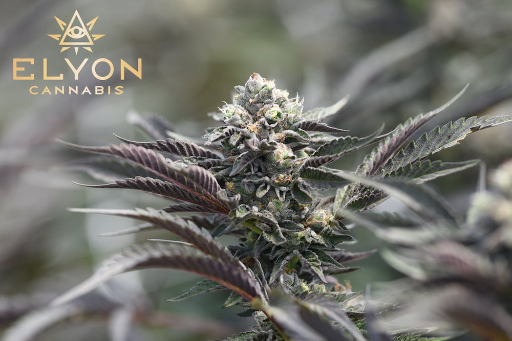 Elyon Cannabis Cookies