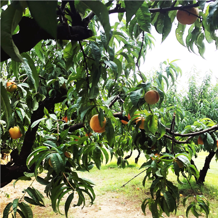 Peaches - a MUST for u-pick!