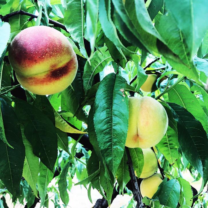 peach8.png