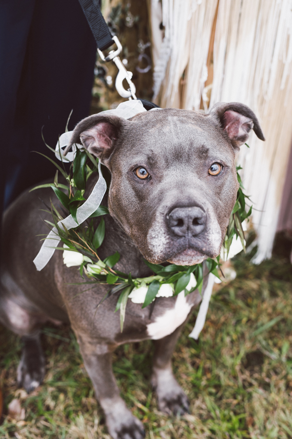 Pit-bull flower girl.