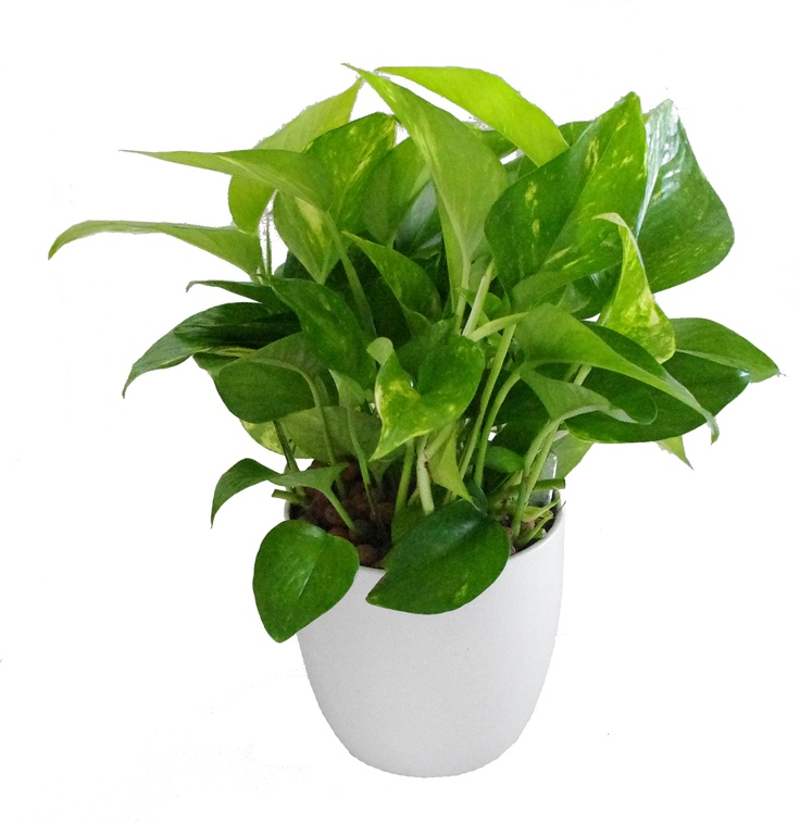 1. Golden pothos  - Does well in low lightWater when top layer of dirt is dry to touchClimbs and cascades for lovely vine-y lookEasy to grow new plants from cuttings(toxic to dogs & cats)