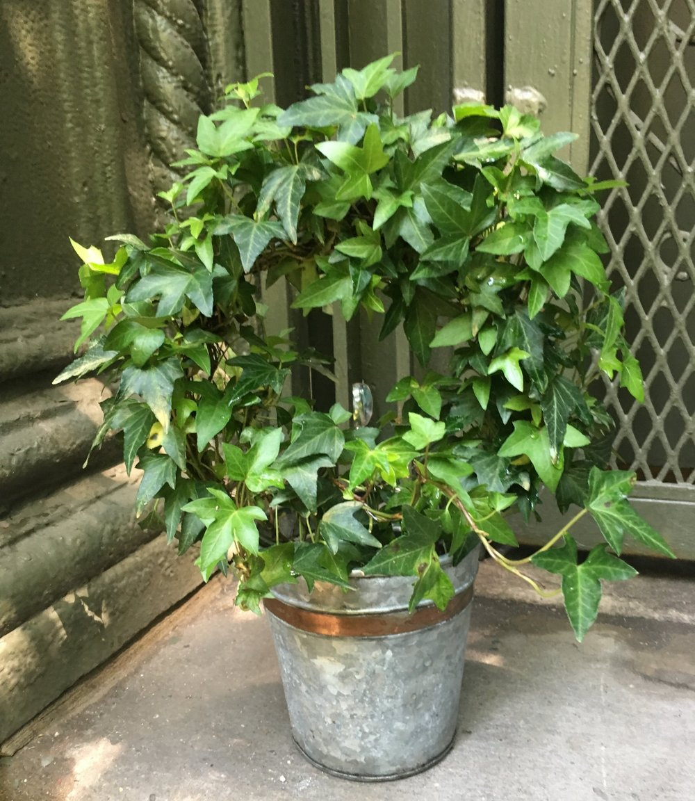 2. English ivy - Tolerates low light or only interior lightWater approximately every 2 weeksVery hardy, good for forgetful plant ownersClimber, can be trained to decorative shapes(toxic to dogs & cats)