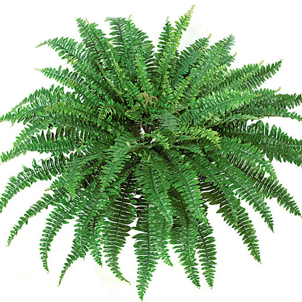 3. Boston fern - Likes indirect lightWater to keep soil moist to the touchPlace in cool, humid environment and mist during dry winter seasonLush, tropical look though a bit finicky(dog & cat safe)