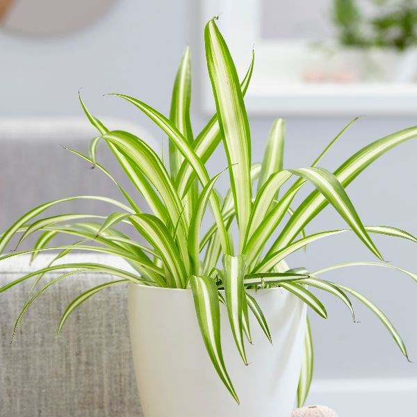 4. Spider plant - Prefers indirect sun and humidity - good for bathroom windowsWater about once a week, or when soil surface feels dry - let drain so roots aren't wetDoes fine in regular pots, but makes great hanging plantVery easy to grow new plants from the