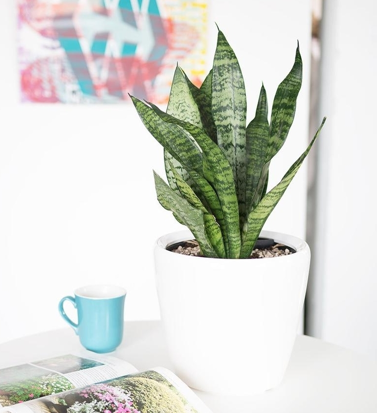 7. Snake plant - Minimal light required - perfect for offices or other spots without much natural lightVery resilient even if not watered for weeks on endJust about impossible to kill - ideal for brown thumbs, frequent travelers, dark apartments(toxic to dogs & cats)