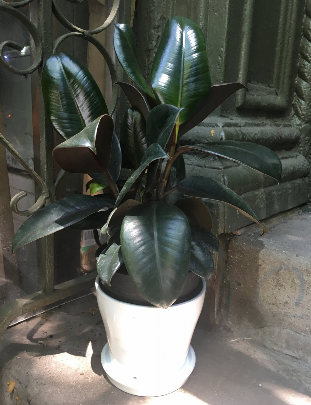 8. Rubber plant - Prefers indirect, bright light but low light okayWater about once a week, when top of soil feels dry, soak until water drains from bottom Wipe off leaves when dusty for shine and better respiration / filteringProduces latex when cut - not the same kind use to for natural rubber but it can burn the skin so be cautious when pruningCan become very tall, easily growing to the ceiling - pruning keeps them fuller and shorter(toxic to dogs & cats)
