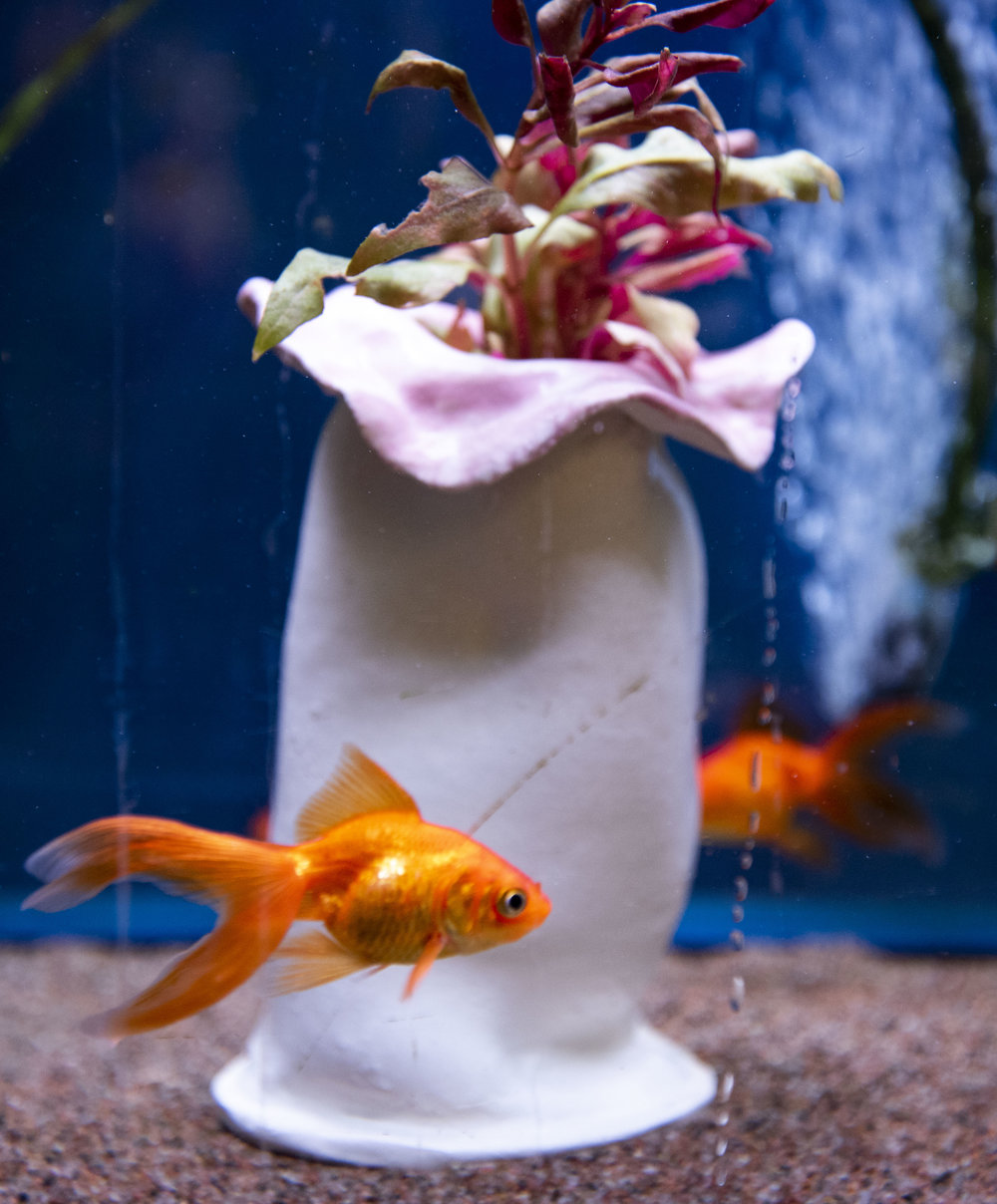 Goldfish - The goldfish is native to East Asia. It's a relatively small member of the carp family and one of the most commonly kept aquarium fish. They breeds vary in size, body shape, fin configuration and coloration.