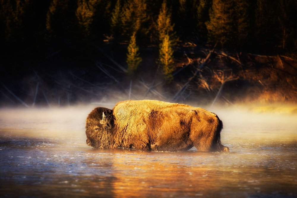 Bison-in-the-River-in-Yellowstone-by-Michael-Matti.jpg