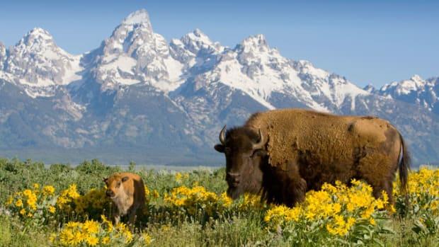 yellowstone-wildlife-buffalo-79.jpg
