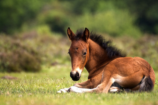 new_forest_foal_515927.jpg