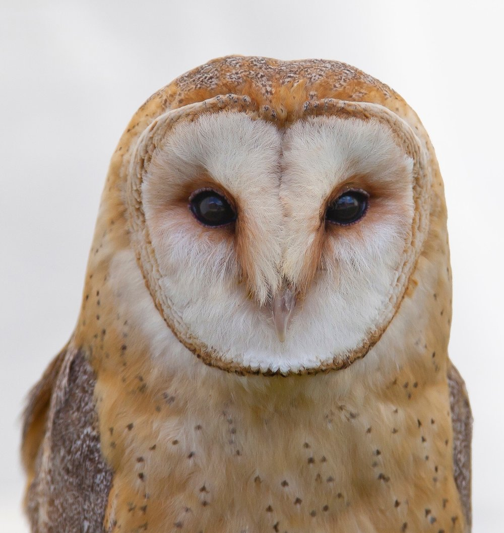 animal-animal-photography-barn-owl-106685.jpg