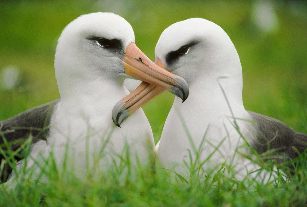 laysan-albatross-frans-lanting.jpg