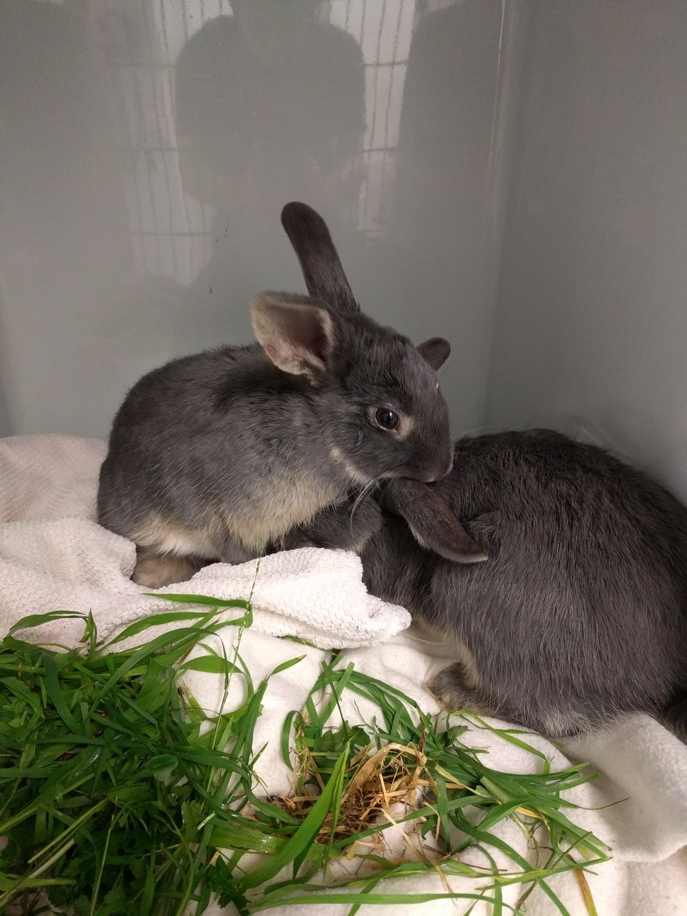 Rabbits looking after each other after surgery in the vet clinic