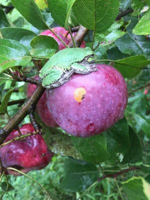 Apple at South Facing Farm