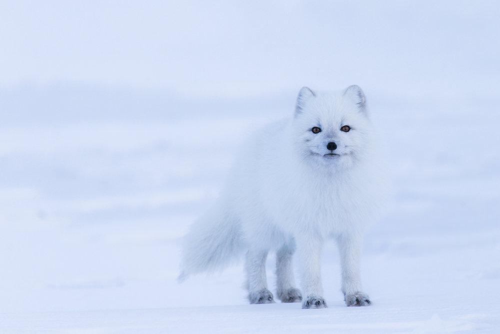 If you want to know more about my photo project about the arctic fox click  here  or on the photo.