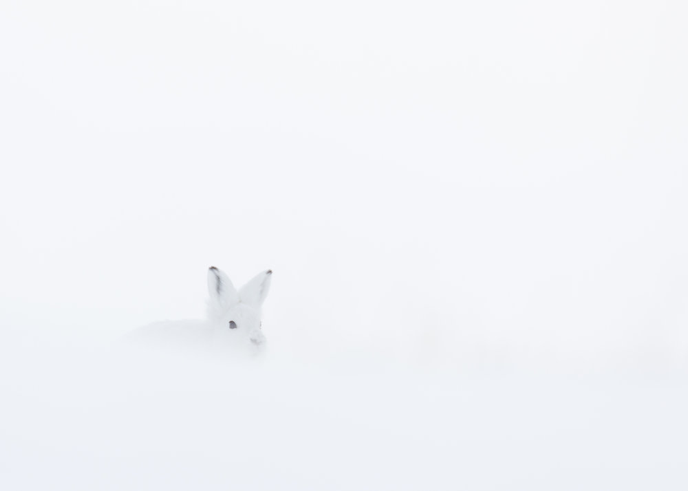 If you want to know more about my photo project about the arctic hare click  here  or on the photo.