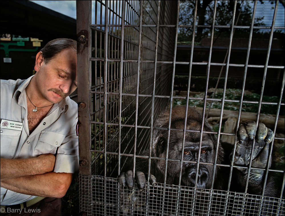 Caged gorilla with his sleeping keeper, Mick Carman. 
