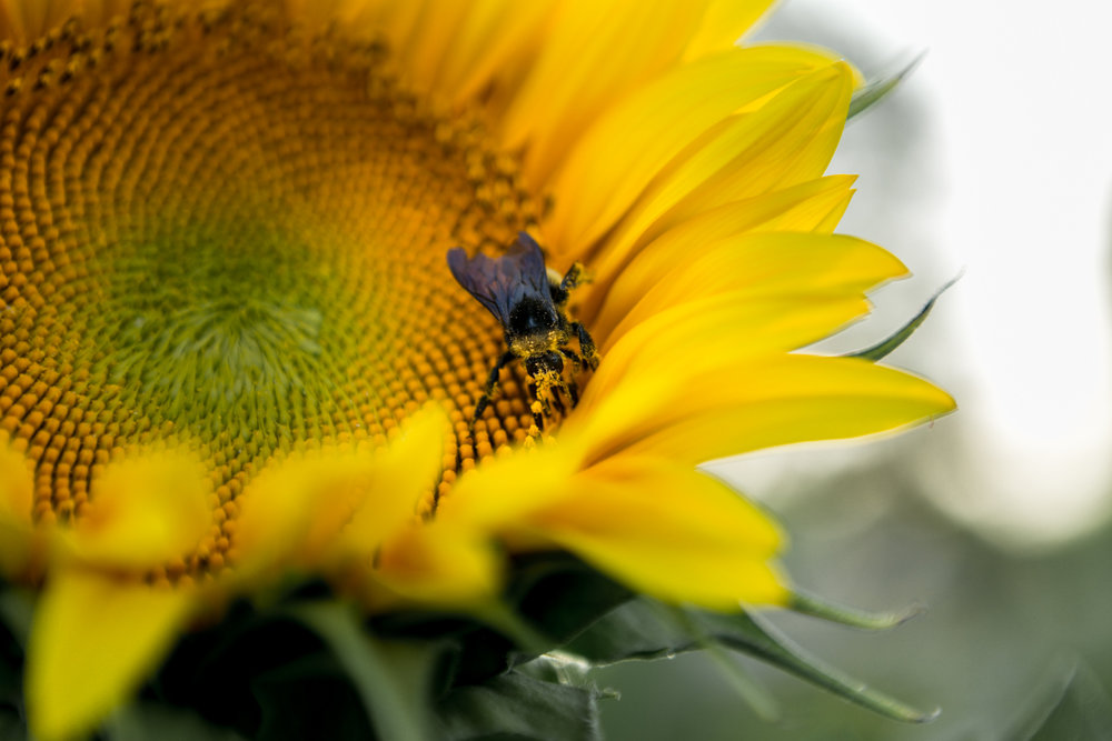 Bee covered in pollen on sunflower at Kansas State University, Manhattan Kansas. Captured by Renee McDaniel with Renee McDaniel Photography.
