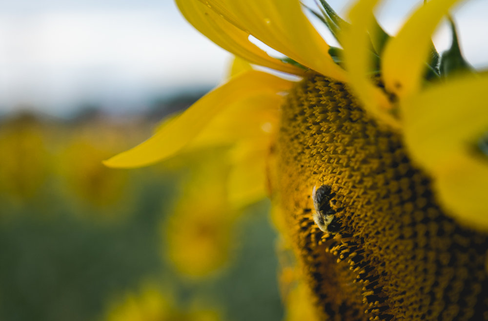 Bumble bee on sunflower at Kansas State University, Manhattan Kansas. Captured by Renee McDaniel with Renee McDaniel Photography.