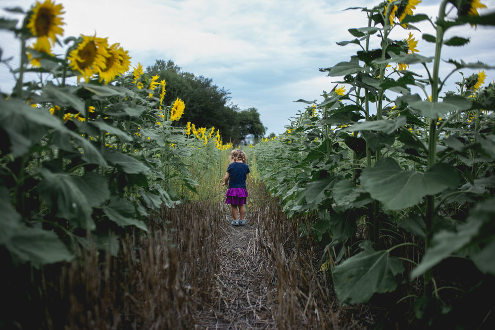 Girl walking in sunflower field at Kansas State University, Manhattan Kansas. Captured by Renee McDaniel with Renee McDaniel Photography.