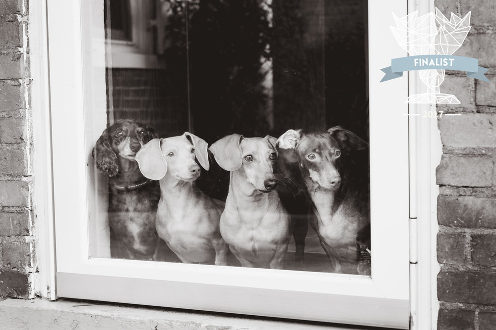 Best Family Photographer in Manhattan, Kansas, captures her 4 dachshunds looking out a window. Photographed by Renee McDaniel of Renee McDaniel Photography.